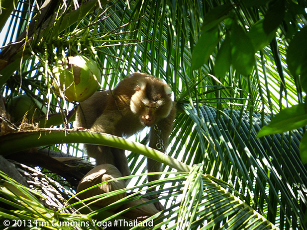 Monkey collecting coconuts